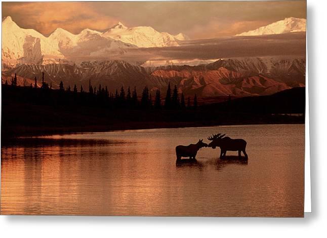 Moose Kissing In Wonder Lake Denali Np Greeting Card by Ron Sanford