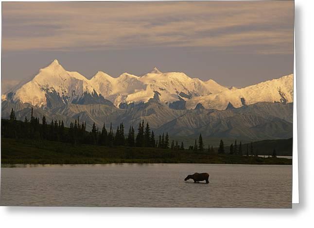 Moose Standing On A Frozen Lake, Wonder Greeting Card