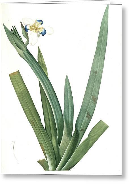 Moraea Vaginata, Neomarica Northiana Morée à Longue Greeting Card by Artokoloro