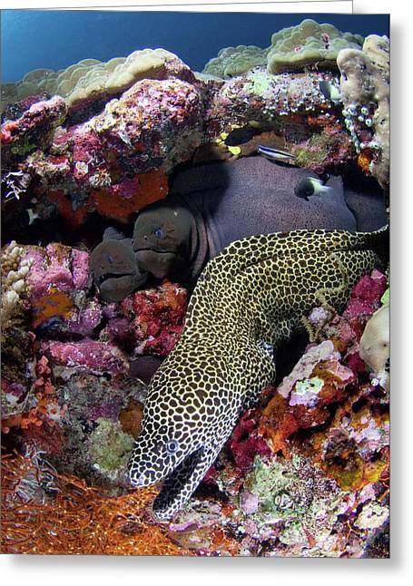 Moray Eels Greeting Card