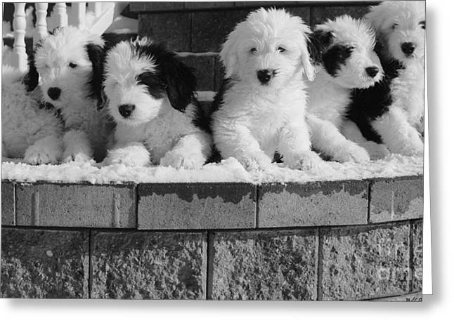 More Puppies Greeting Card by Kathleen Struckle
