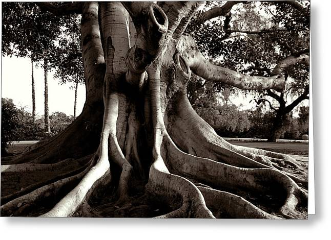 Moreton Bay Fig Greeting Card by Timothy Bulone