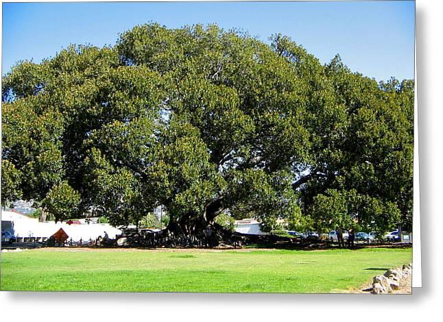 Moreton Fig Tree In Santa Barbara Greeting Card