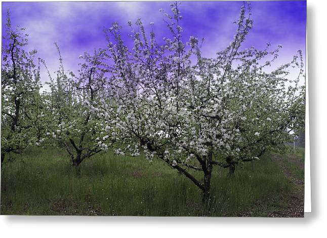 Morning Apple Blooms Greeting Card