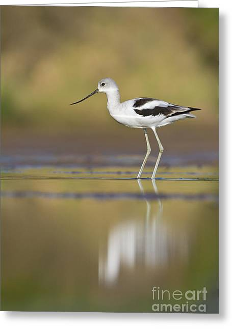 Greeting Card featuring the photograph Morning Avocet by Bryan Keil