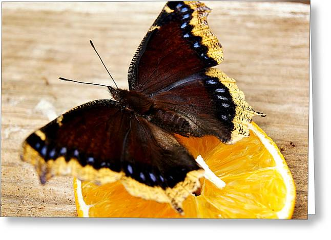 Morning Cloak Butterfly Greeting Card by Carol Toepke