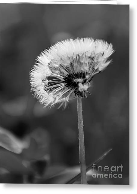 Morning Dandelion Greeting Card