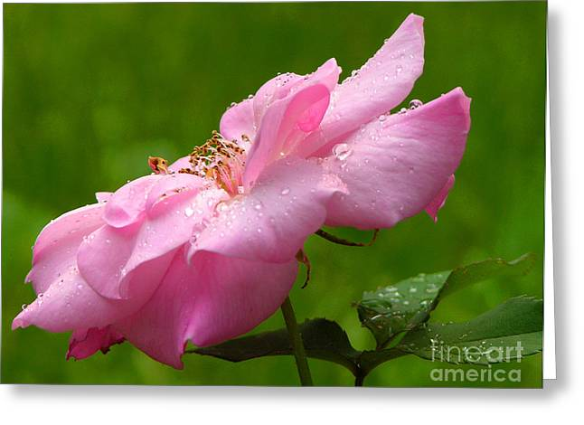Morning Dew Greeting Card by Mariarosa Rockefeller