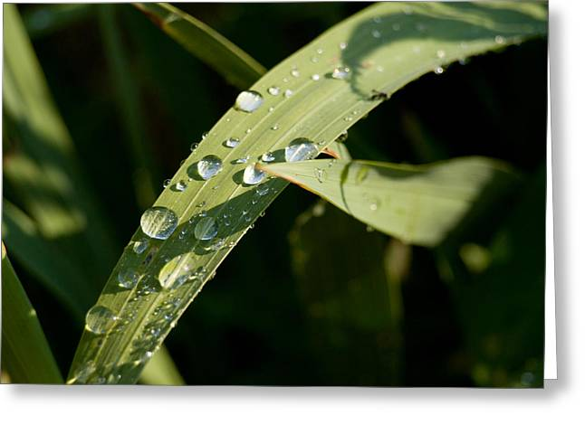 Morning Dew Greeting Card by Paige Sims