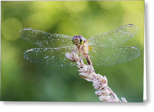 Morning Dragonfly Greeting Card by Mircea Costina Photography