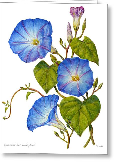 Morning Glories - Ipomoea Tricolor Heavenly Blue Greeting Card by Janet  Zeh