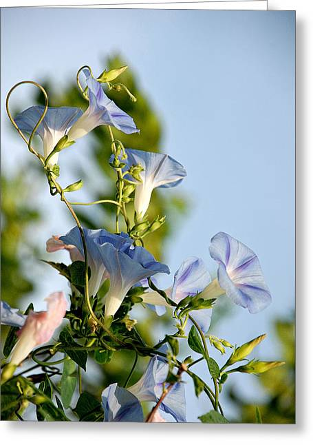 Morning Glories Greeting Card