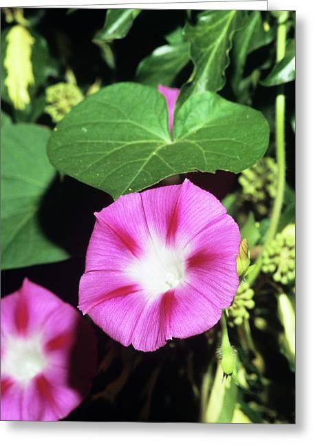 Morning Glory Flowers Greeting Card