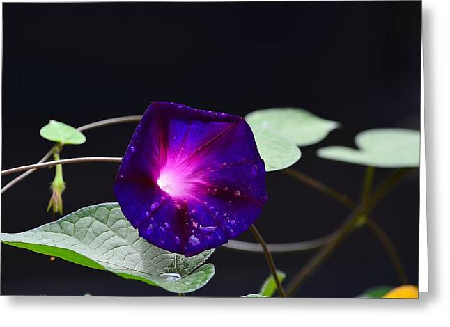 Morning Glory - Grandpa Ott's Greeting Card
