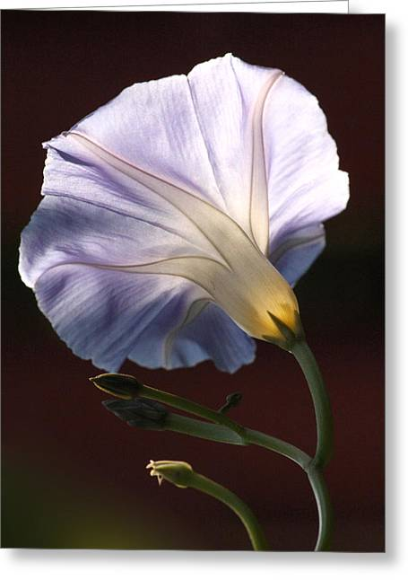 Morning Glory Light Greeting Card