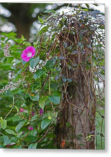 Morning Glory On The Fence Greeting Card