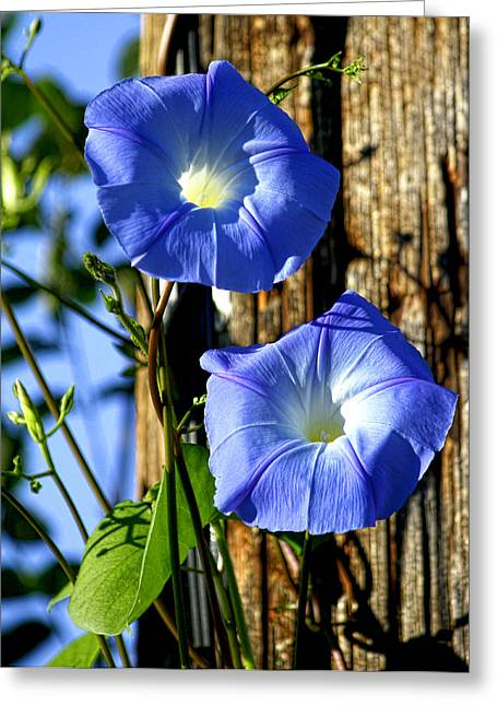 Morning Glory Pair Greeting Card