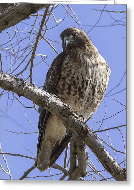 Morning Hawk Greeting Card
