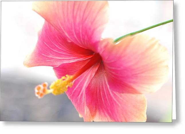 Morning Hibiscus In Gentle Light - Square Macro Greeting Card by Connie Fox