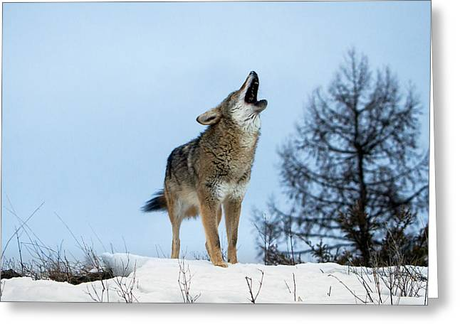 Greeting Card featuring the photograph Morning Howl by Jack Bell