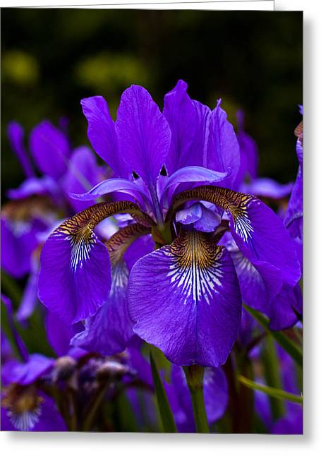 Morning Iris Greeting Card by Haren Images- Kriss Haren