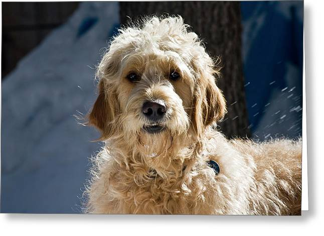 Morning Light On A Goldendoodle Greeting Card by Zandria Muench Beraldo