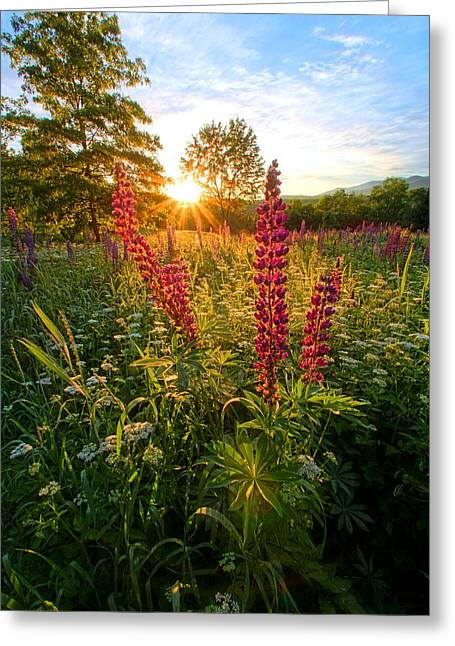 Morning Lupines Of Sugar Hill Greeting Card by Andrea Galiffi