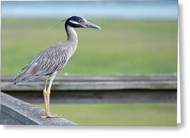 Morning Treasure Night Heron Greeting Card
