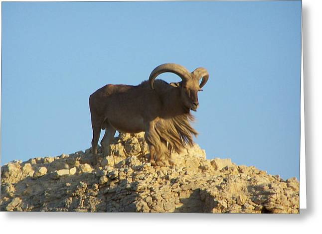 Moroccan Barbary Sheep Greeting Card by Noreen HaCohen