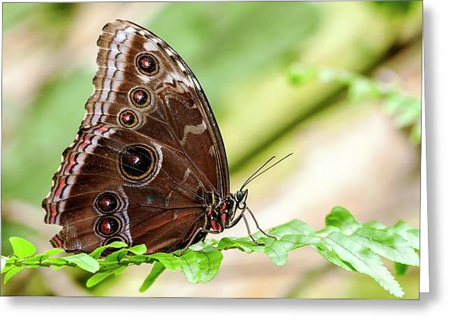 Morpho Butterfly Greeting Card