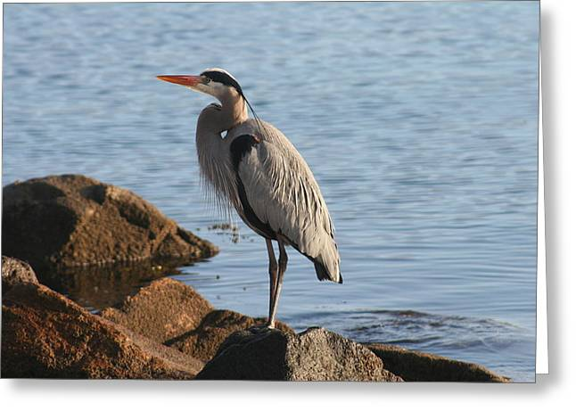Morro Bay Egret Greeting Card by Tony and Kristi Middleton