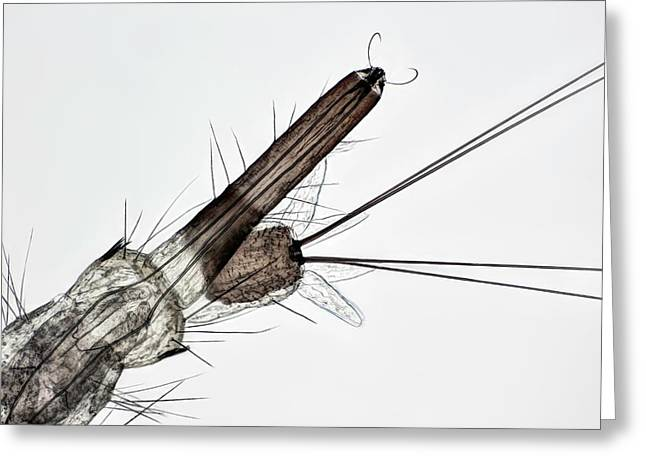 Mosquito Larva Greeting Card by Frank Fox