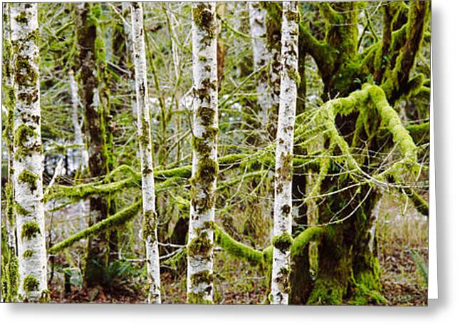 Mossy Birch Trees In A Forest, Lake Greeting Card by Panoramic Images