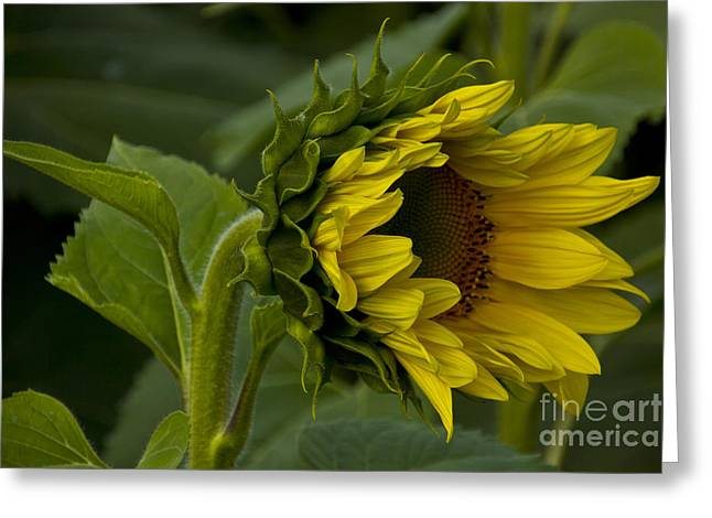 Mostly Open Sunflower Greeting Card by Bill Woodstock