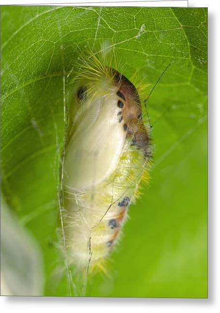 Moth Chrysalis Greeting Card