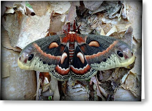 Moth On Paper Birch Greeting Card by Joel E Blyler