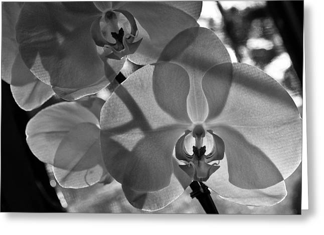 Greeting Card featuring the photograph Moth Orchid Backlit by Ron White