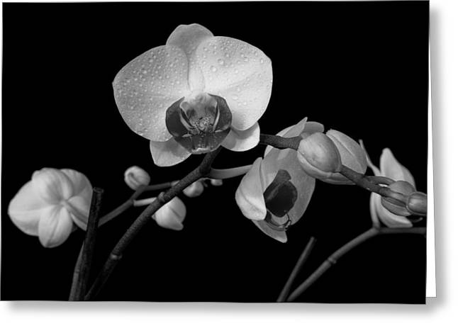 Moth Orchids Greeting Card