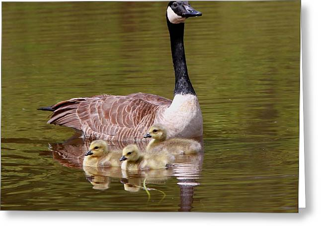 Mother Goose With Baby Geese Greeting Card by Edward Kocienski