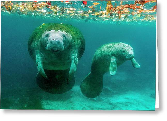 Mother Manatee With Her Calf In Crystal Greeting Card