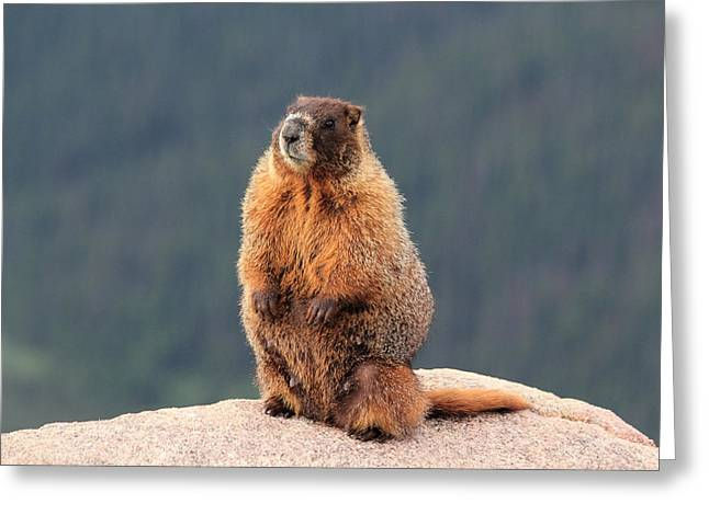 Mother Marmot Greeting Card