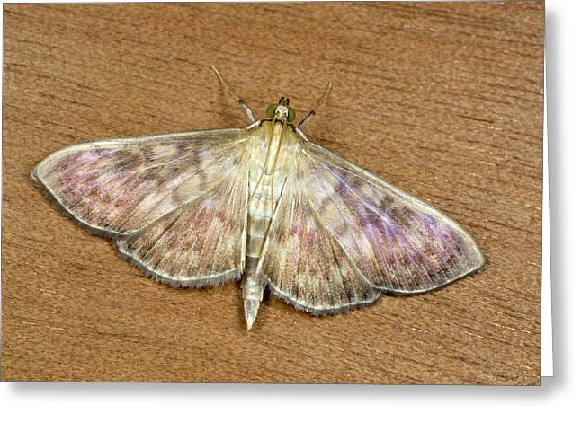 Mother-of-pearl Moth Greeting Card by Nigel Downer