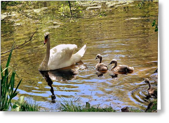 Greeting Card featuring the photograph Mother Swan And Cygnets by Janice Drew