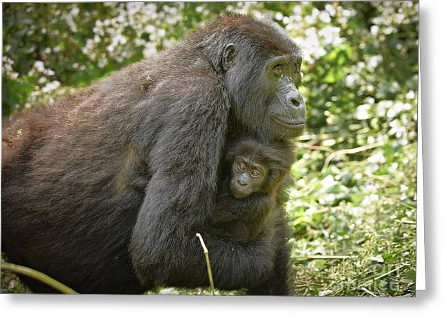 Mother With Baby Mountain Gorilla Greeting Card