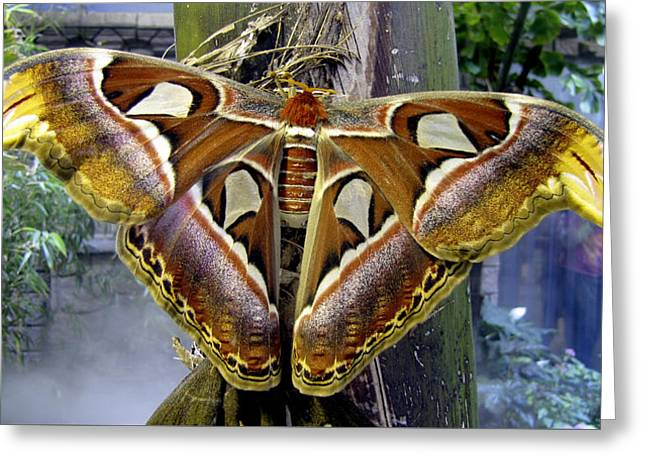 Atlas Moth Greeting Card by Bob Slitzan