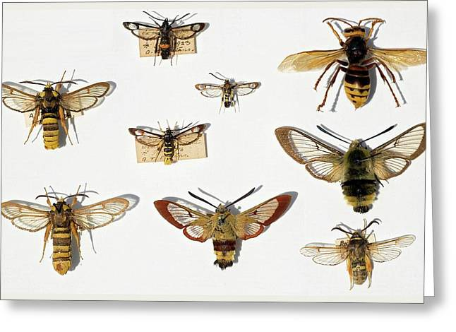 Moths And Batesian Mimicry Greeting Card