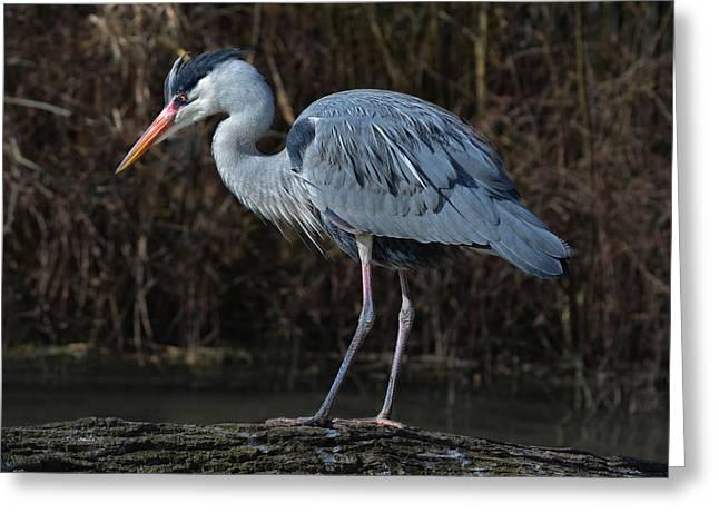 Motionless Grey Heron Greeting Card