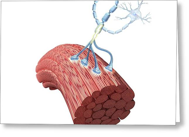 Motor Neurone And Muscle Fibres Greeting Card