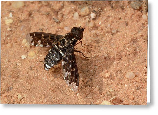 Mottled Bee-fly Greeting Card by Nigel Downer