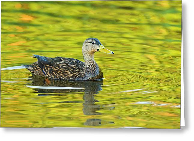 Mottled Duck (anas Fulvigula Greeting Card by Larry Ditto